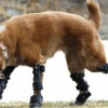 'Bionic Dog' Walks on 4 Prosthetic Paws